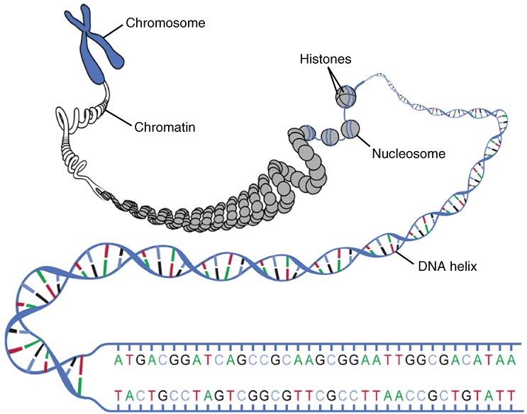 Image result for dna histones