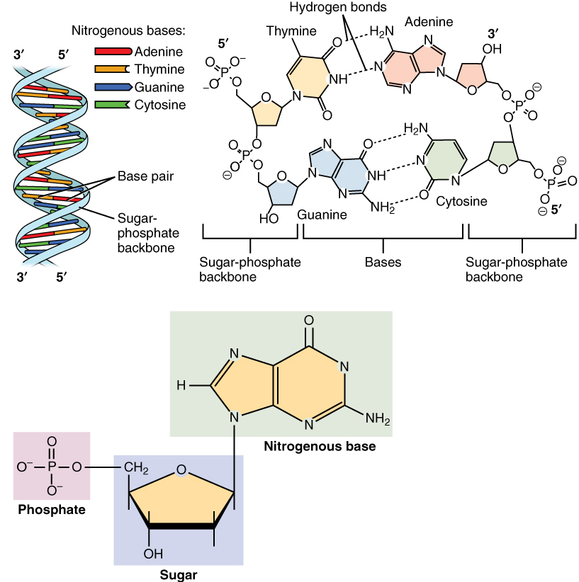 this figure shows the dna double helix on the top left