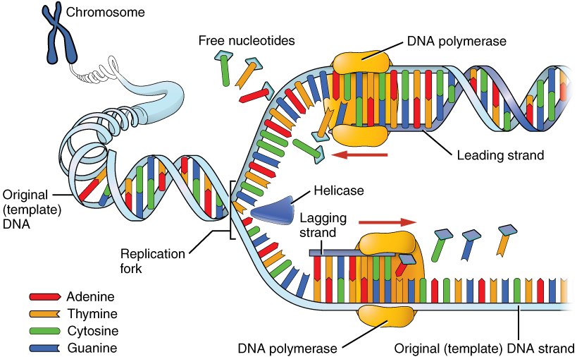 The Nucleus and DNA Replication