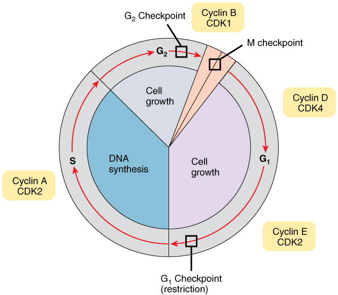 the phases of the cell cycle of humans Cell division: mitosis and meiosis  • to describe the events in the cell cycle and how these events are controlled 3  phases of the cell cycle.