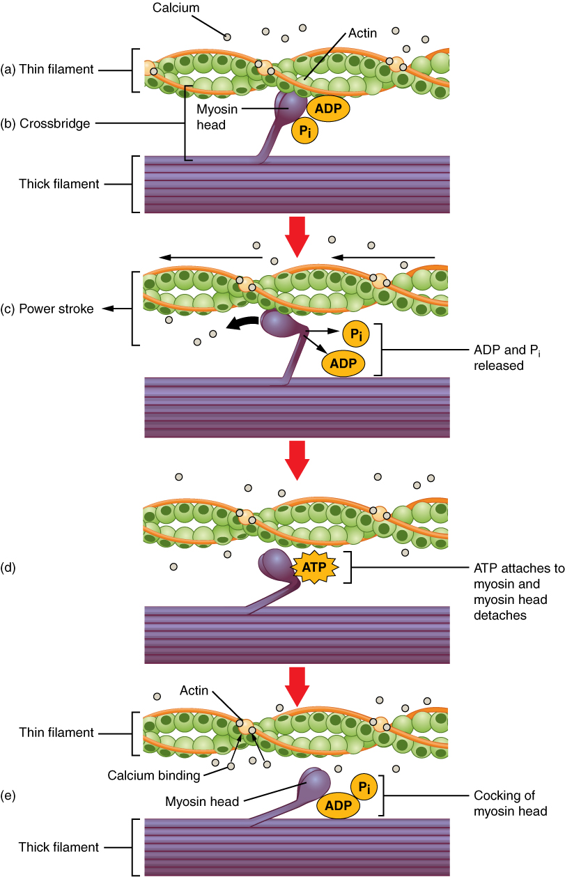 how myosin atpase activity affects muscle concentration What is the role of atp in muscle  the lymn-taylor actomyosin atpase hydrolysis mechanism and the  actin-myosin bridge and causing muscle.