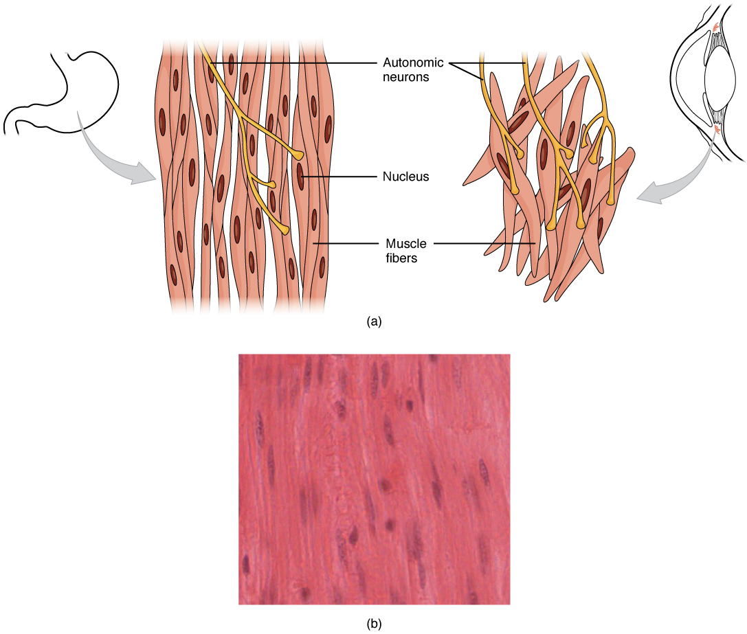 This Diagram Shows The Structure Of Smooth Muscle  To The