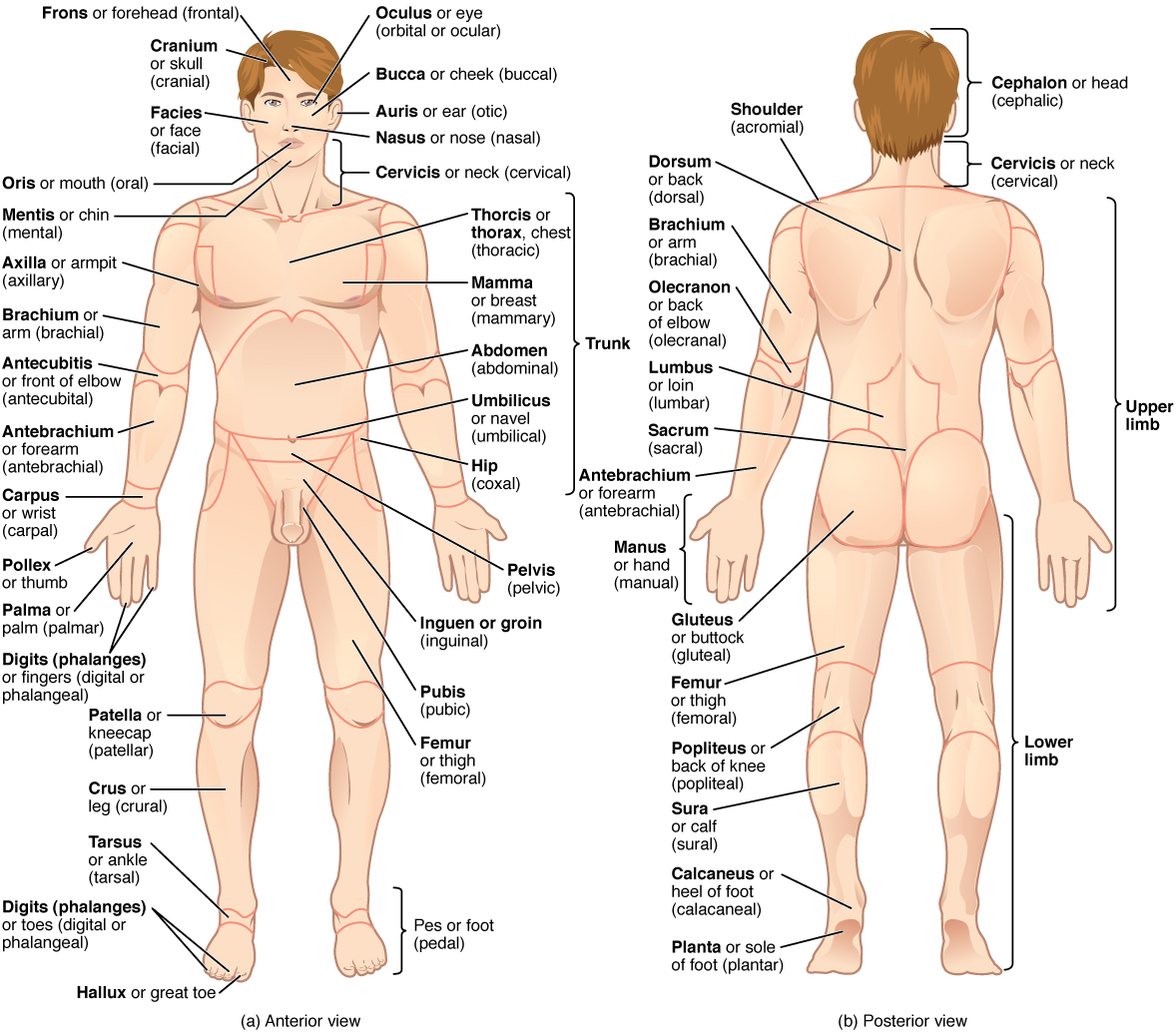 Body Regions Diagram A...