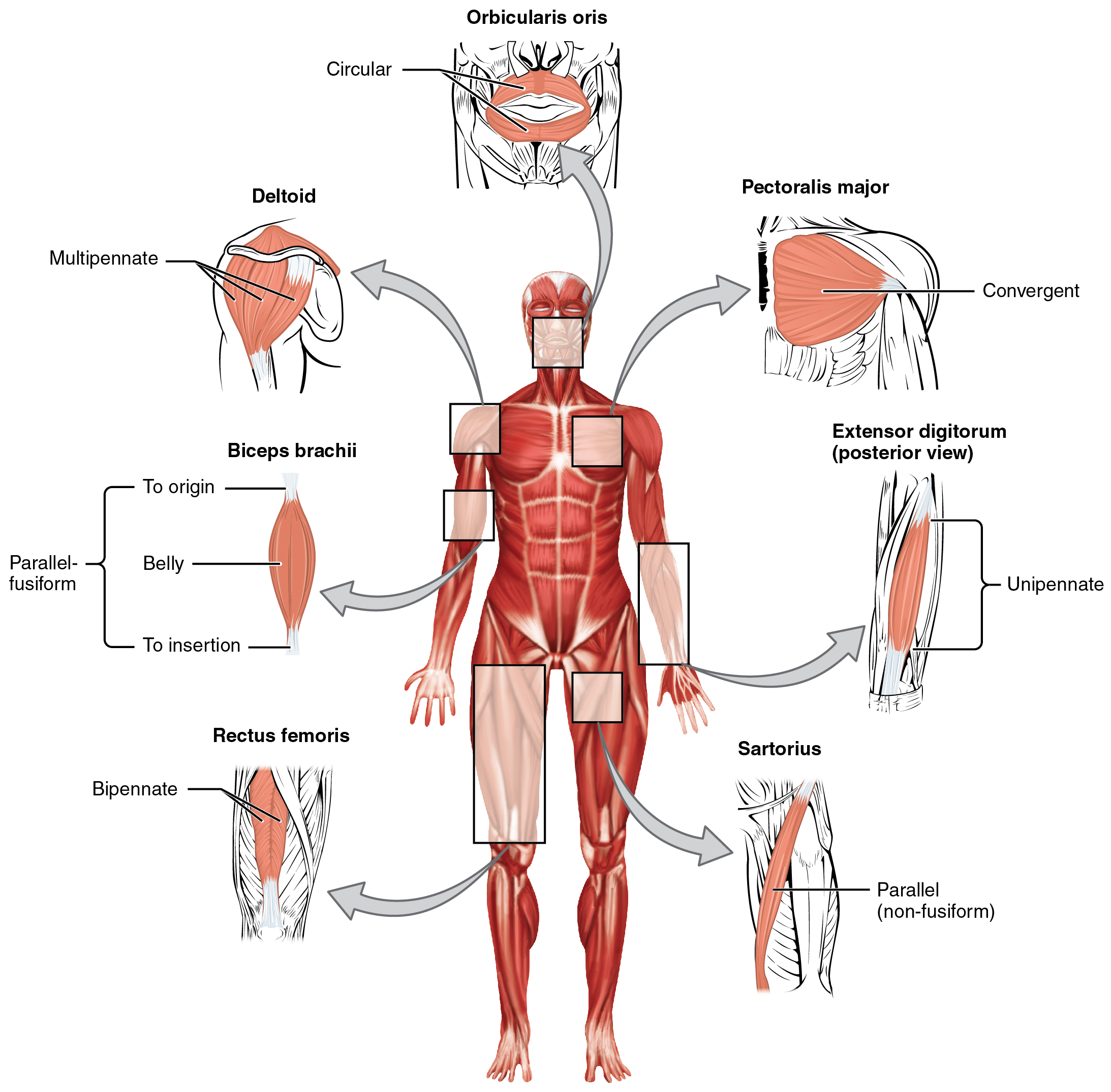 Muscle Group Diagram For Elementary Spanish Diy Enthusiasts Wiring