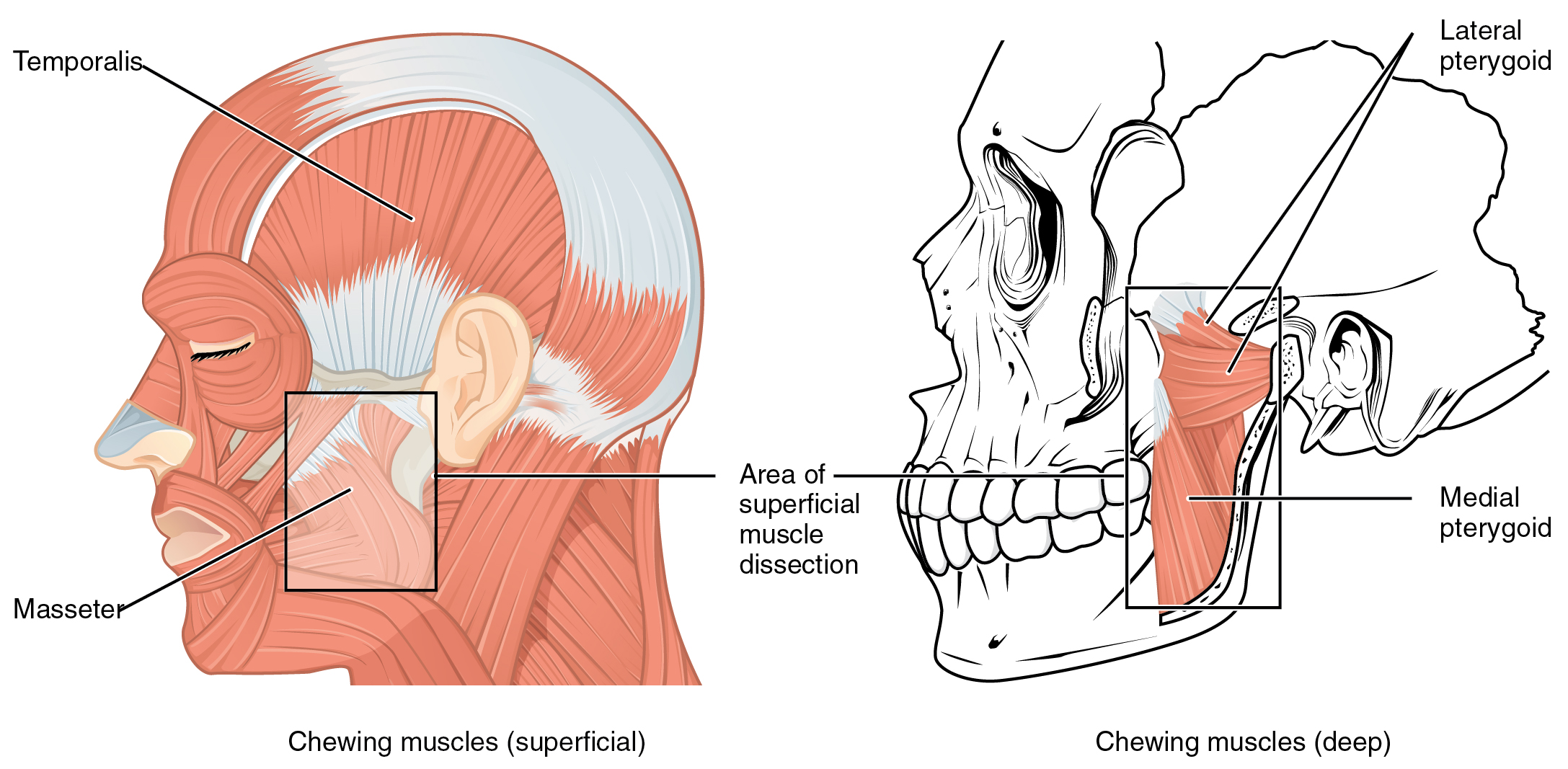 Axial Muscles of the Head, Neck, and Back