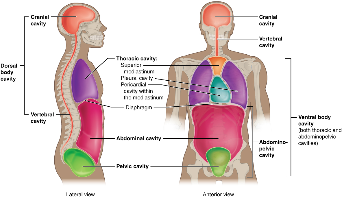 anatomical terminology this illustration shows a lateral and anterior view of the body and highlights the body cavities