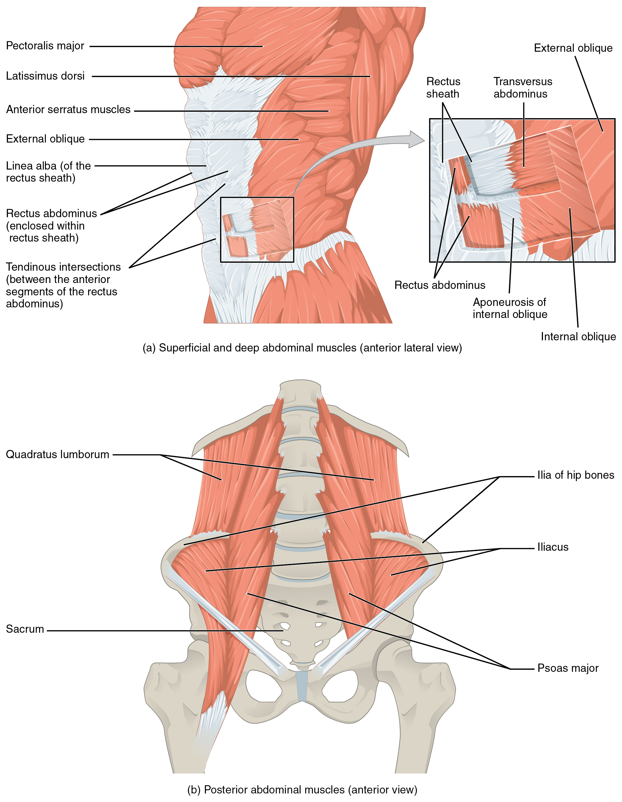 Axial Muscles of the Abdominal Wall, and Thorax