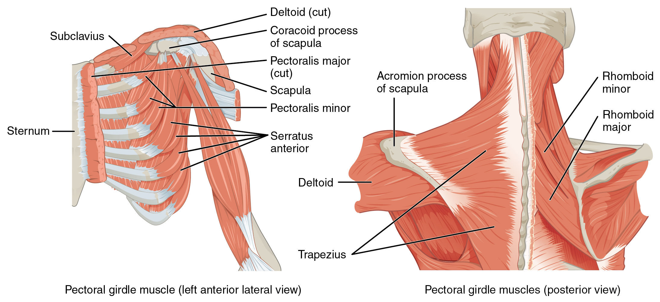 Deltoid Anterior Shoulder Muscles Diagram Diy Enthusiasts Wiring