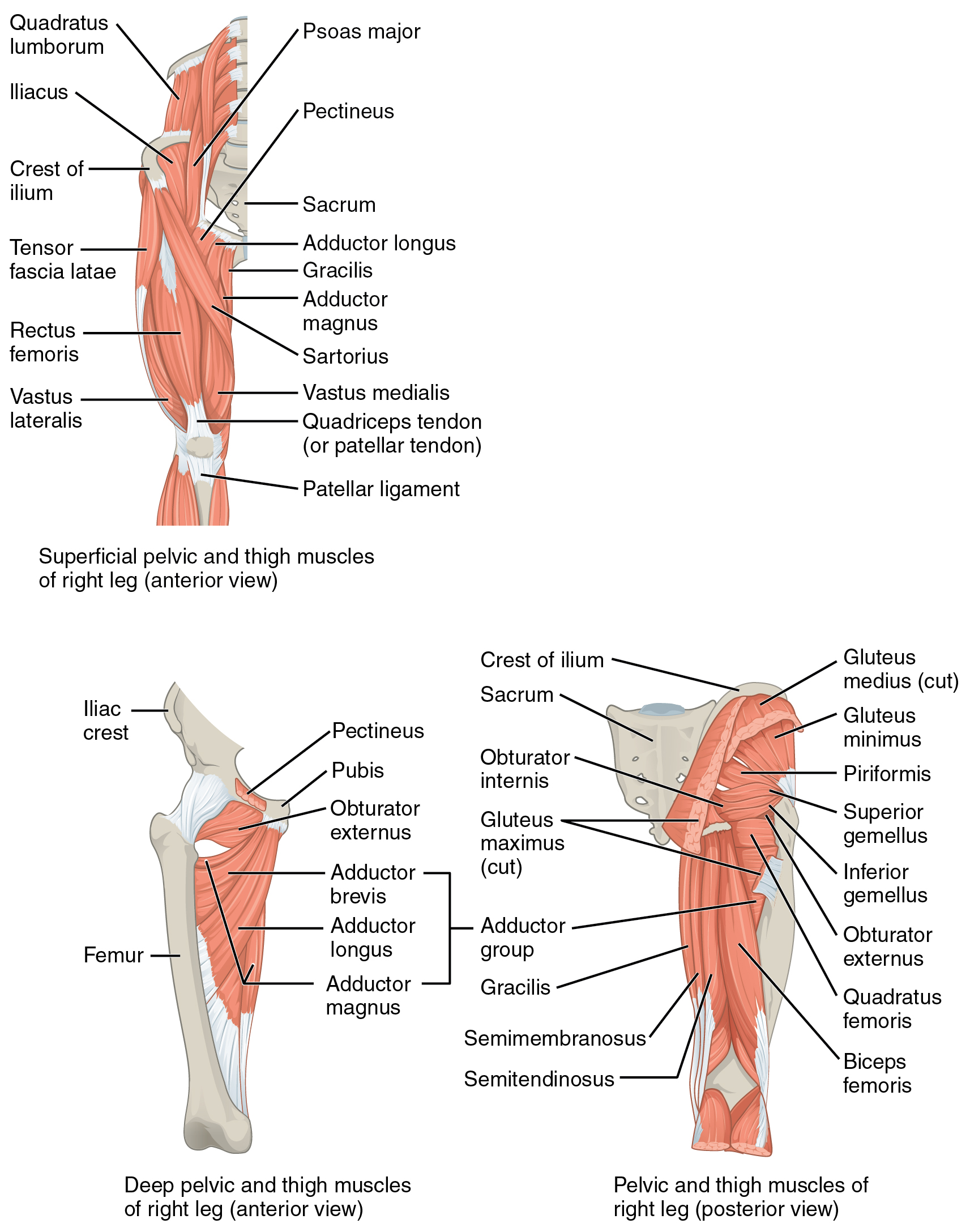 Appendicular Muscles Of The Pelvic Girdle And Lower Limbs