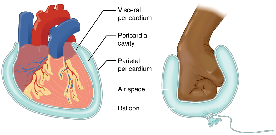 This Diagram Shows The Pericardium On The Left Next To An