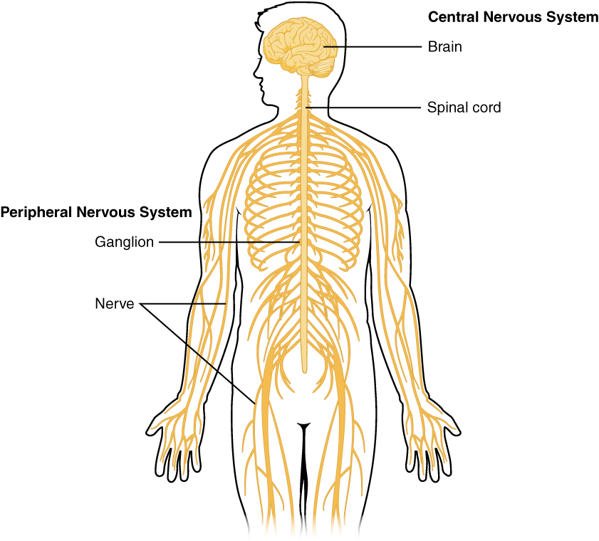 Basic structure and function of the nervous system this diagram shows a silhouette of a human highlighting the nervous system the central nervous ccuart Choice Image