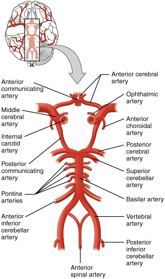Circulation and the Central Nervous System