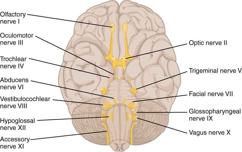 This Diagrams Shows The Brain And The Main Nerves In The