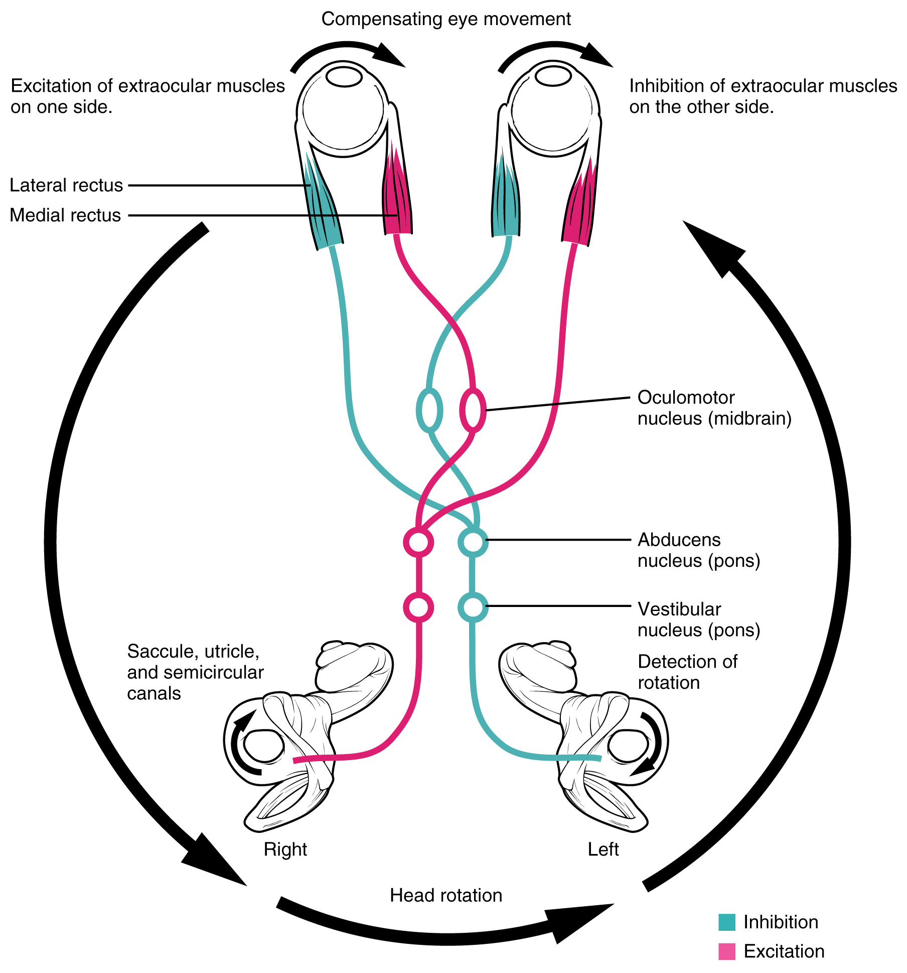 auditory system in diagram