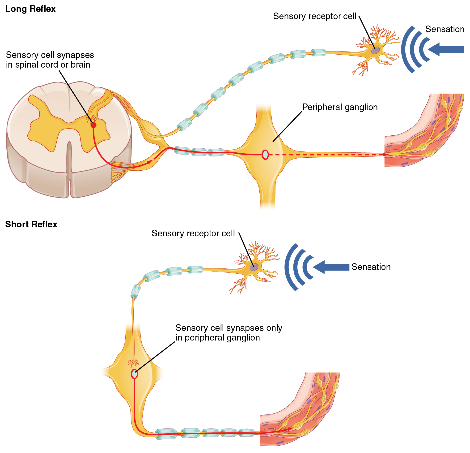Autonomic reflexes and homeostasis the top panel in this figure shows a long reflex where the spinal cord is ccuart Gallery