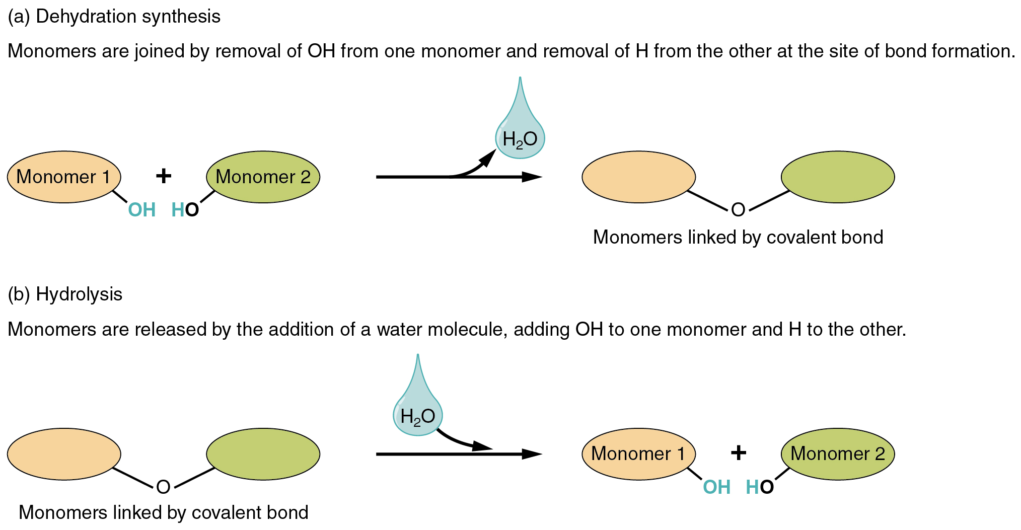 Process Of Building Up New Molecules In The Cell