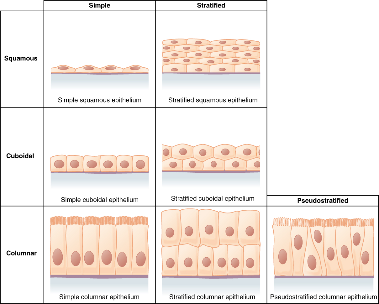 Image result for epithelial tissue types