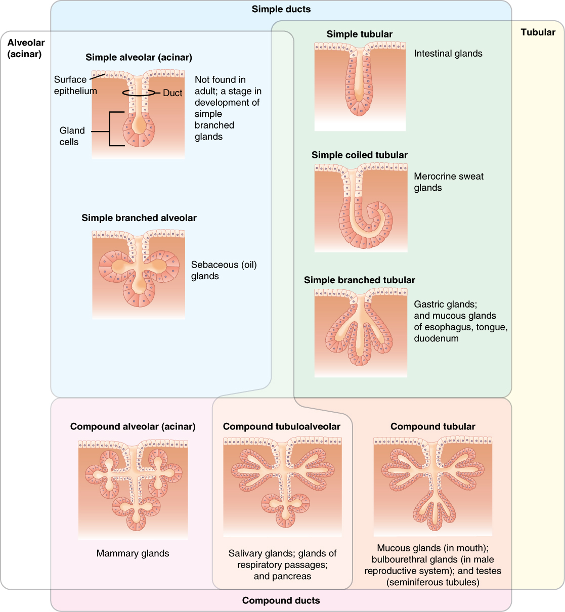 This table shows the different types of exocrine glands ...