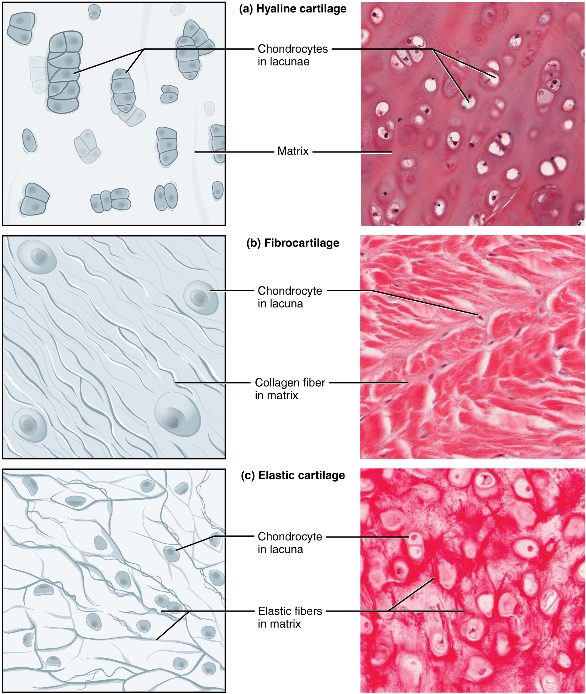 what type of tissue is blood Animal cells and tissues by michael j farabee (as in loose connective tissue), or liquid (as in blood) two types of connective tissue are loose connective.