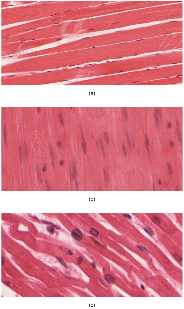 Muscle Tissue And Motion