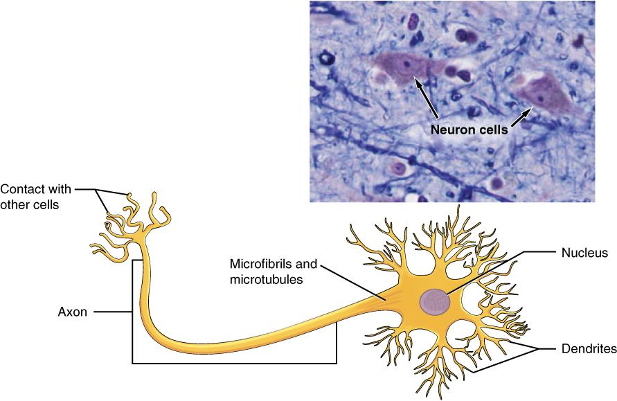 Nervous Tissue Mediates Perception And Response
