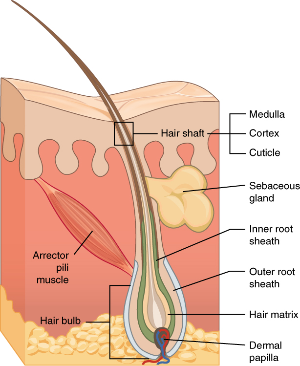 Accessory structures of the skin this diagram shows a cross section of the skin containing a hair follicle the follicle ccuart Images
