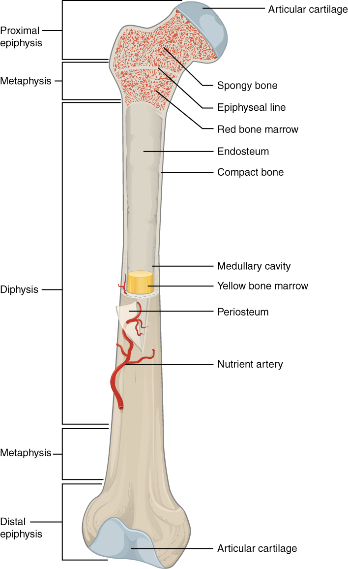 This Illustration Depicts An Anterior View Of The Right Femur  Or Thigh Bone  The Inferior End