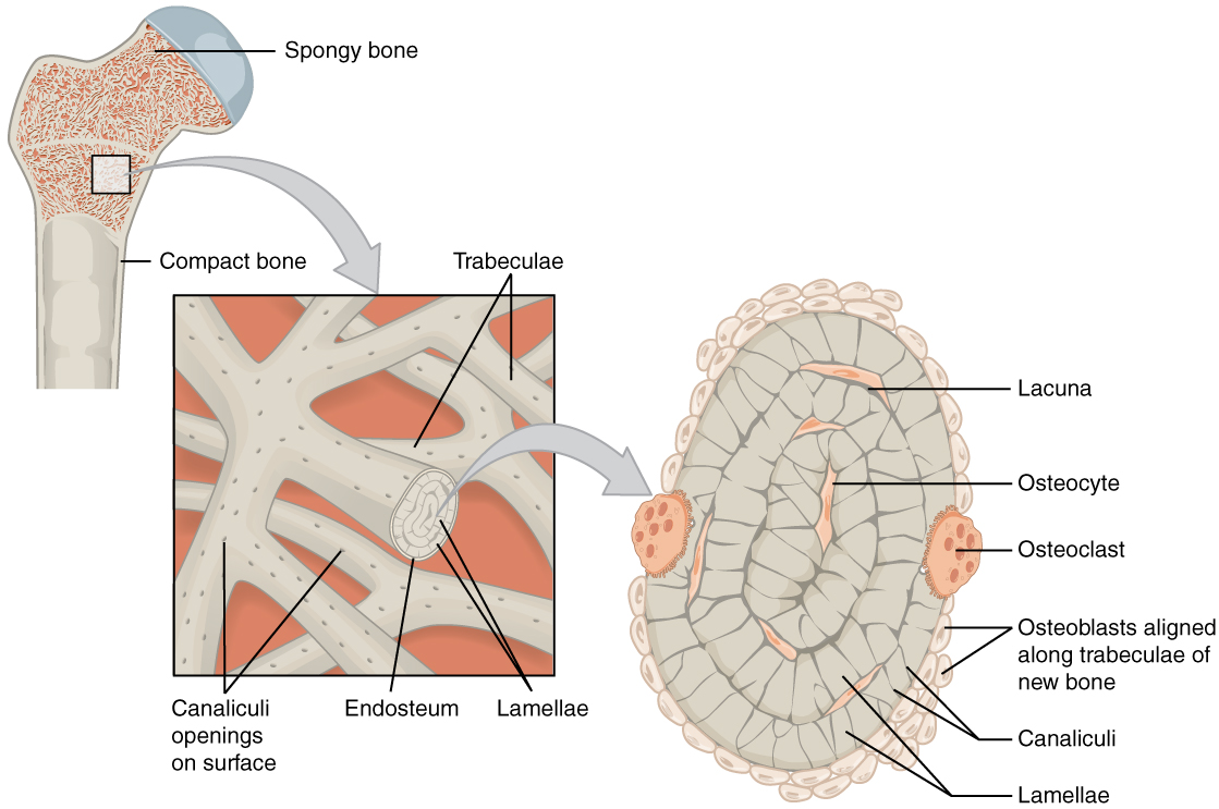 Cortical Bone and Cancellous Bone | Bone and Spine