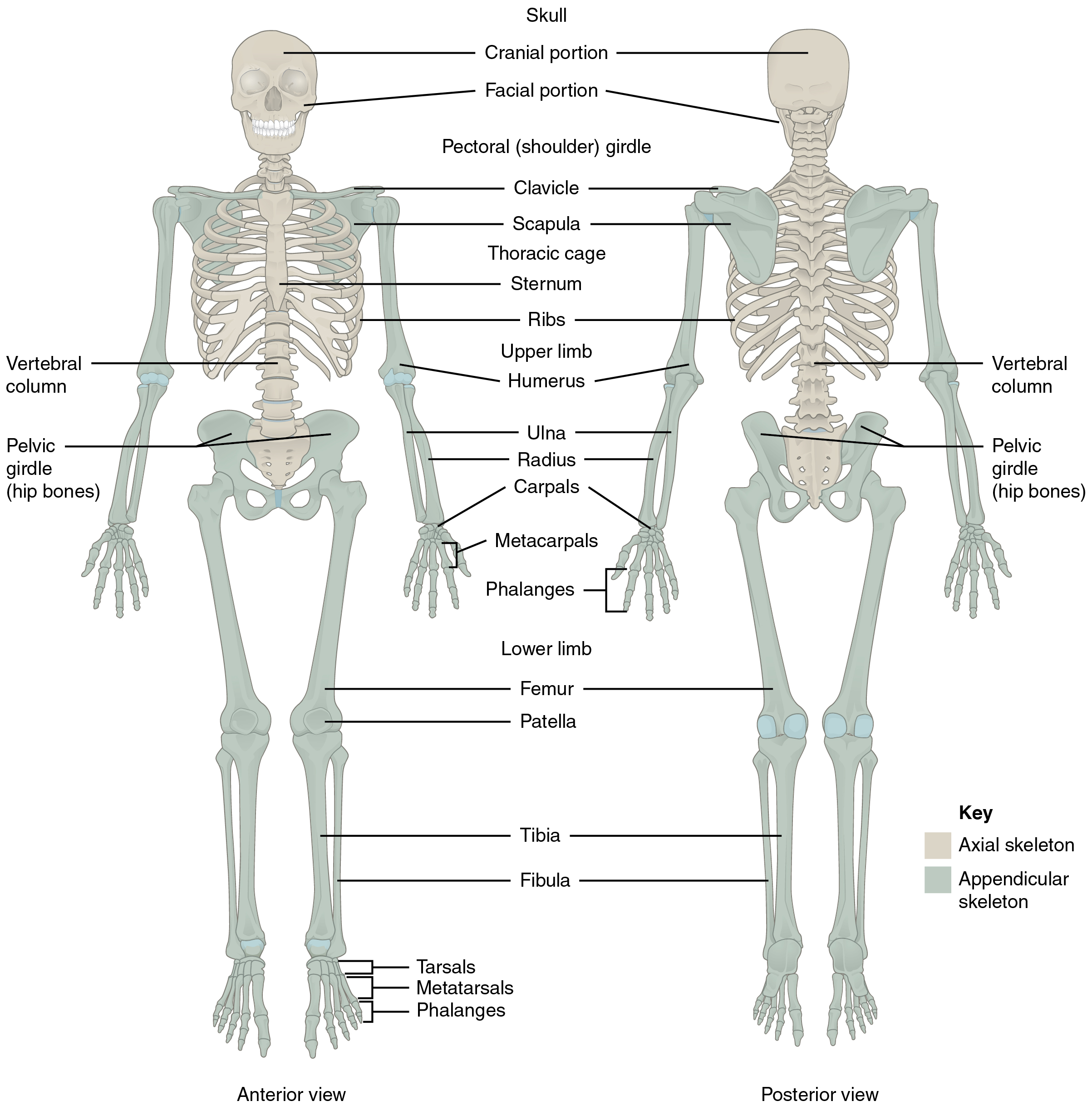 Divisions of the skeletal system the appendicular skeleton ccuart Image collections