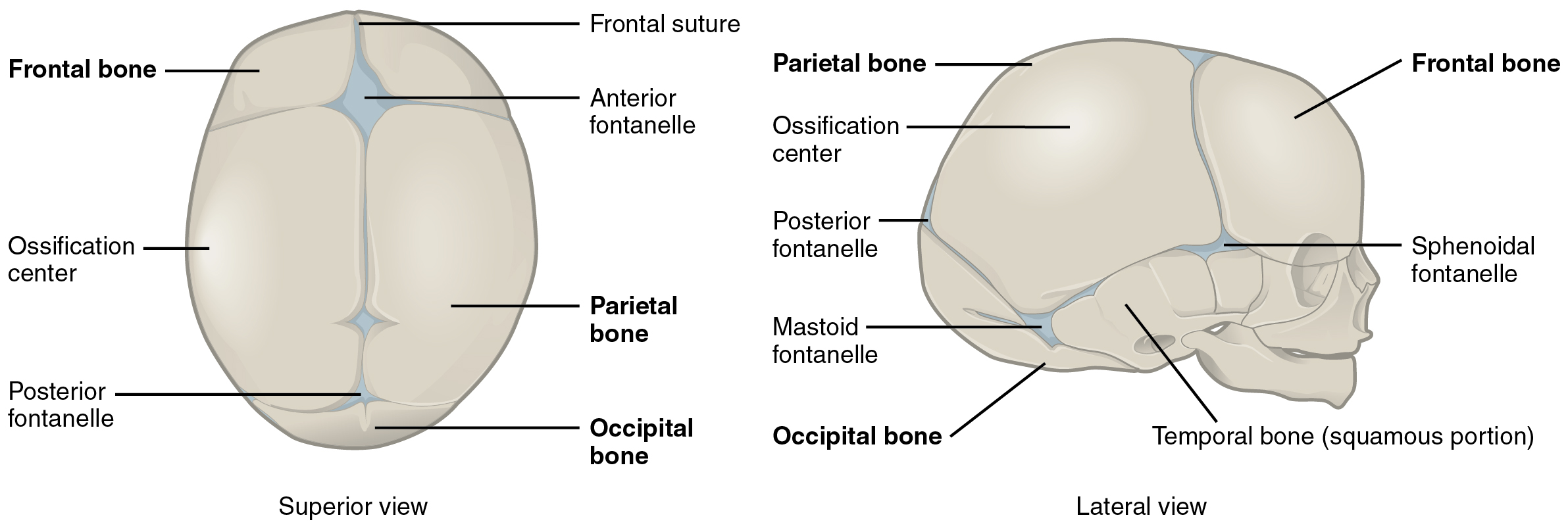 embryonic development of the axial skeleton, Cephalic vein