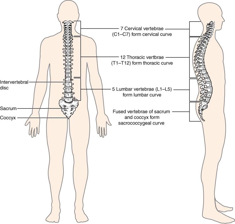 the vertebral column, Human Body