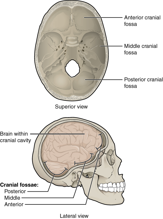 This Figure Shows The Structure Of The Cranial Fossae The