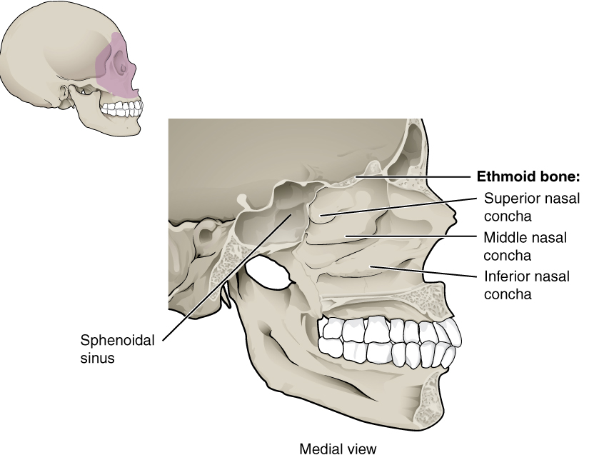 This Figure Shows The Structure Of The Nasal Cavity. A Lateral View Of The  Human