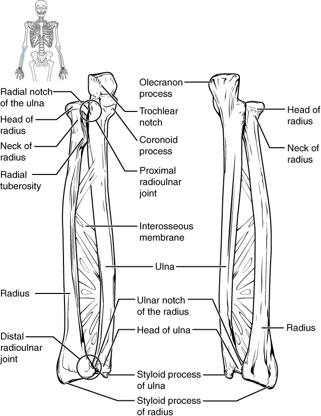 Bones Of The Upper Limb