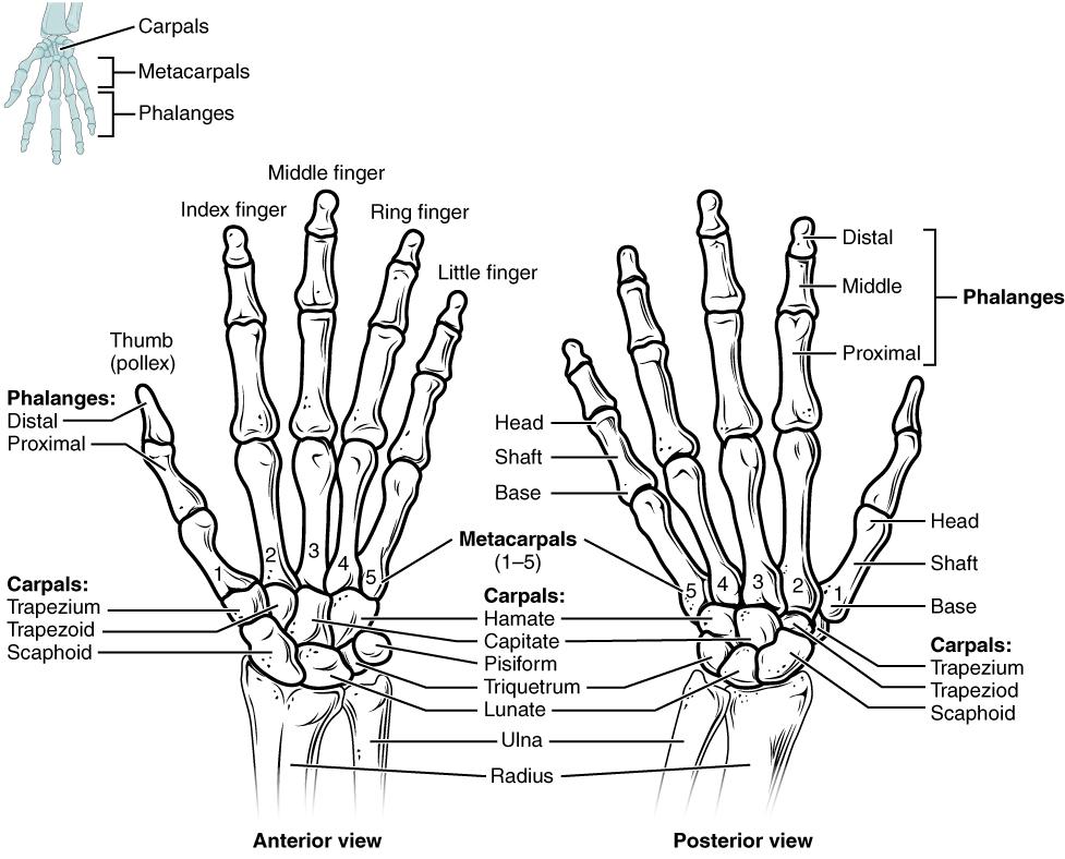 bones of the upper limb, Cephalic Vein