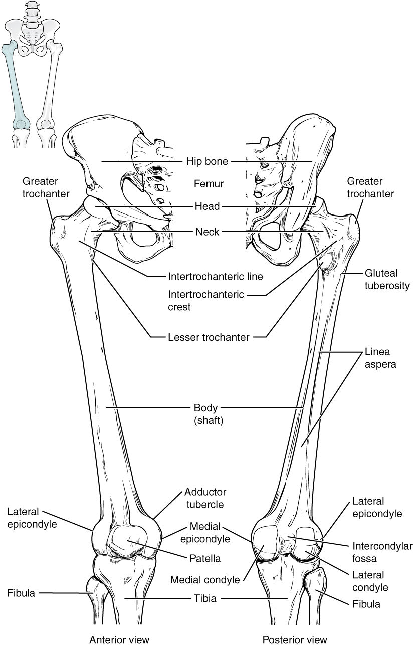 this diagram shows the bones of the femur and the patella  the left panel shows the anterior
