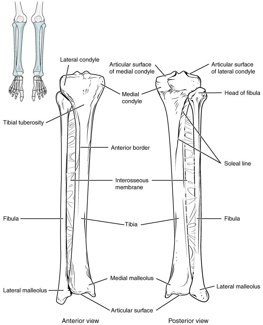 This Image Shows The Structure Of The Tibia And The Fibula  The Left Panel Shows The Anterior