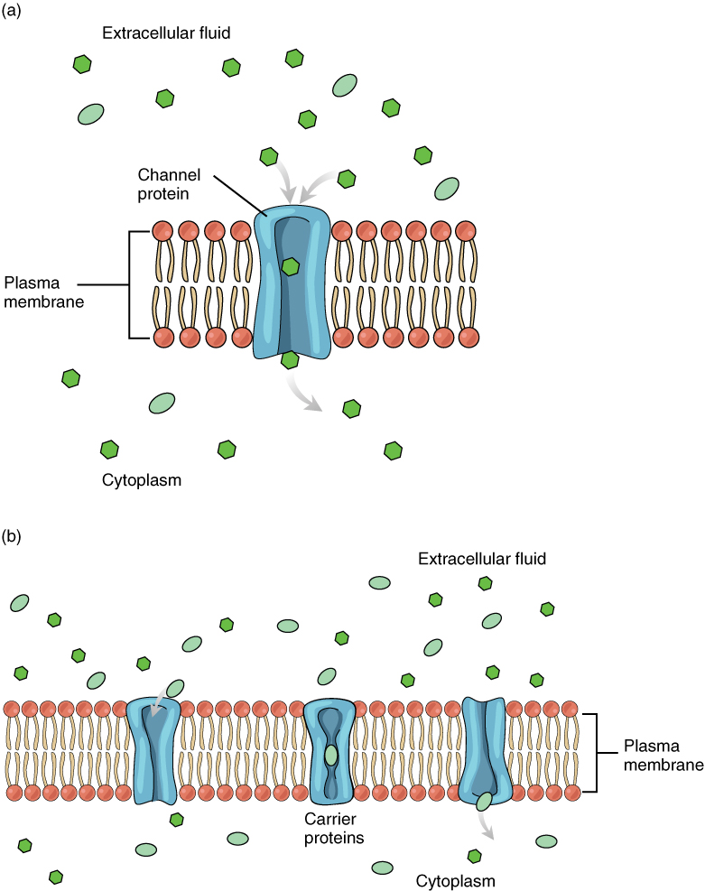 How Often Do You Change Your Oil >> This diagram shows the different means of facilitated diffusion across the plasma membrane. In ...