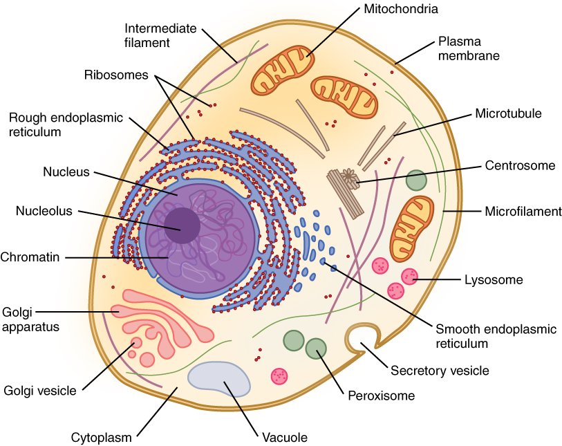 Name Arbeitsblatt In Zelle Anzeigen : This diagram shows an animal cell with all the