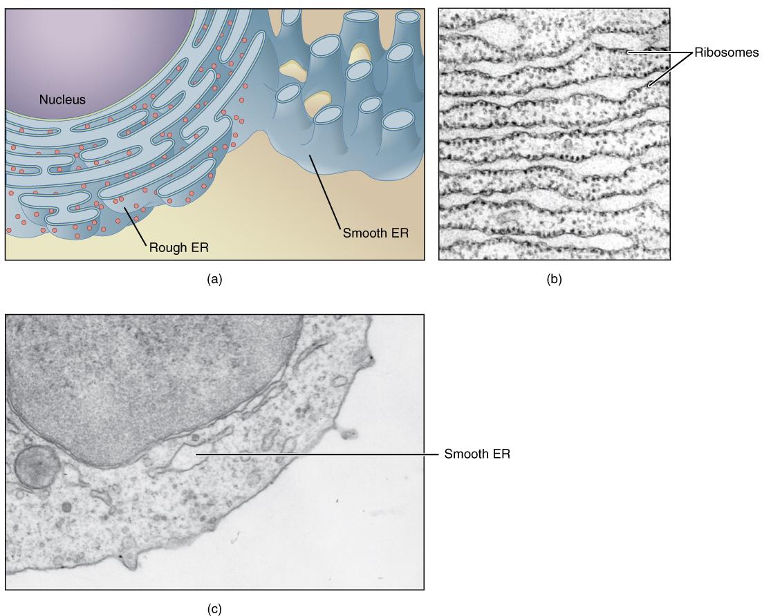 This Figure Shows Structure Of The Endoplasmic Reticulum