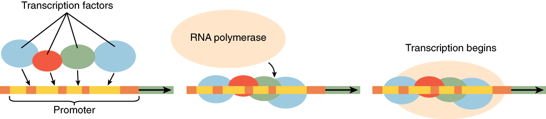 Cellular differentiation this diagram shows transcription factors and then rna polymerase binding to a stretch of rna to ccuart Images