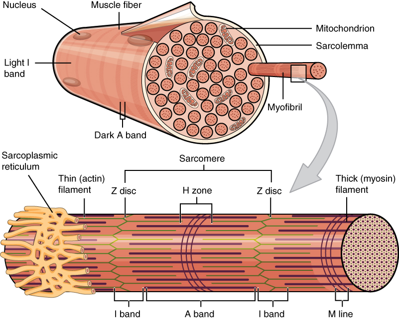 this figure shows the structure of the muscle fibers in the top panel a sarcolemma is shown. Black Bedroom Furniture Sets. Home Design Ideas