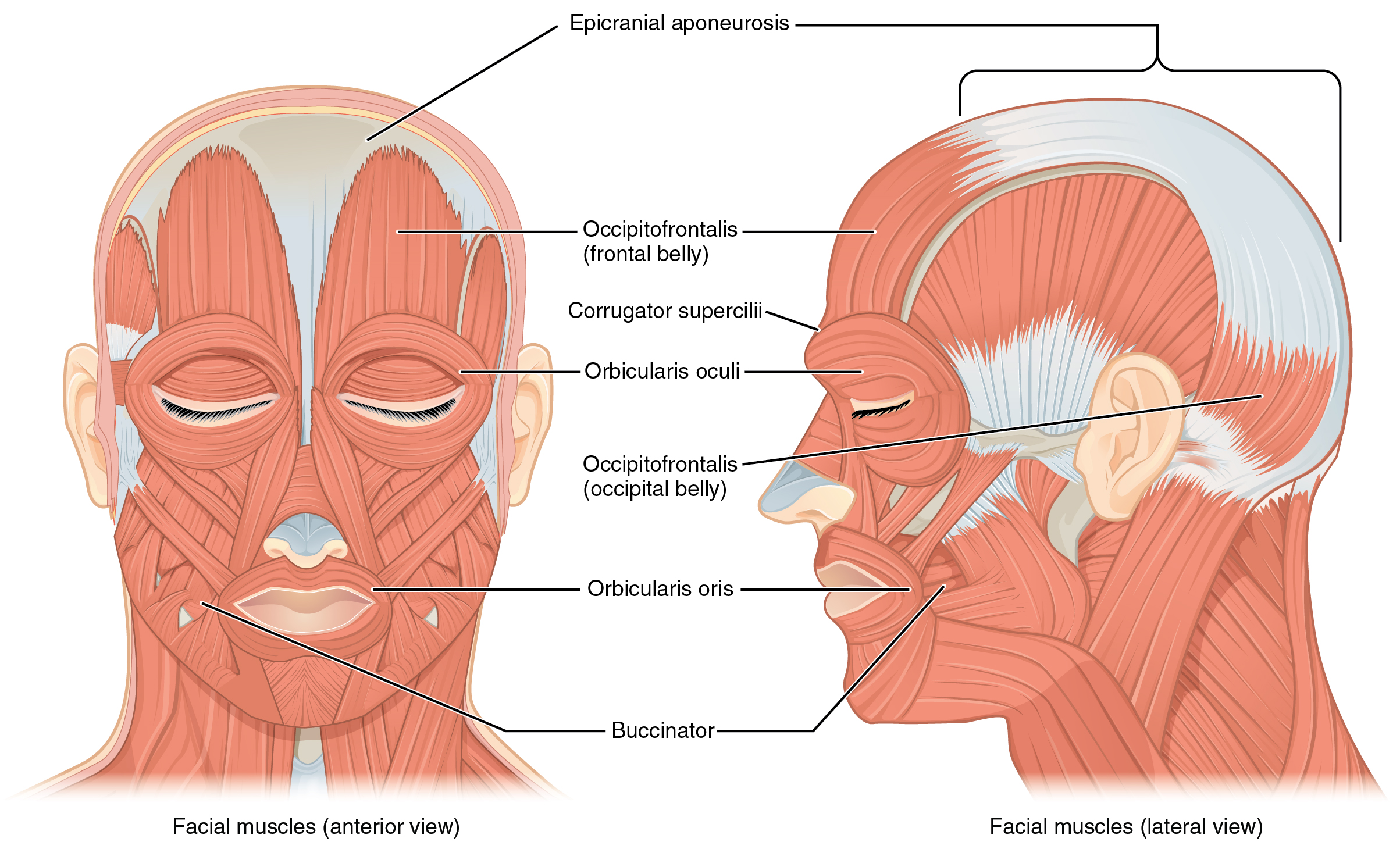 Front And Side Views Of The Muscles Of Facial Expressions on Ear Diagram Worksheet Answers