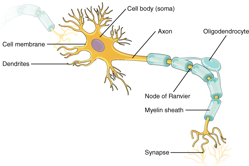 This illustration shows the anatomy of a neuron. The ...