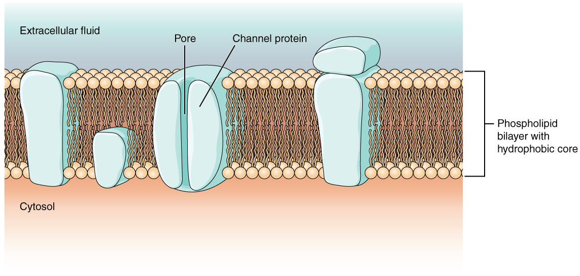 composed of a phospholipid bilayer and has many transmembrane proteins ...