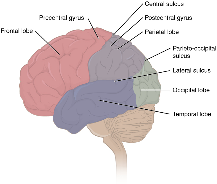 The central nervous system this figure shows the lateral view of the brain and the major lobes are labeled ccuart Images