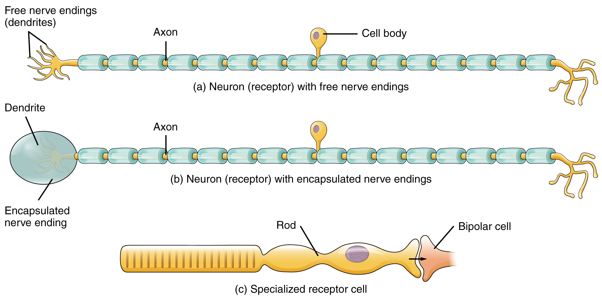 Sensory perception this figure shows the different types of receptors the top panel shows a neuron receptor pooptronica Image collections