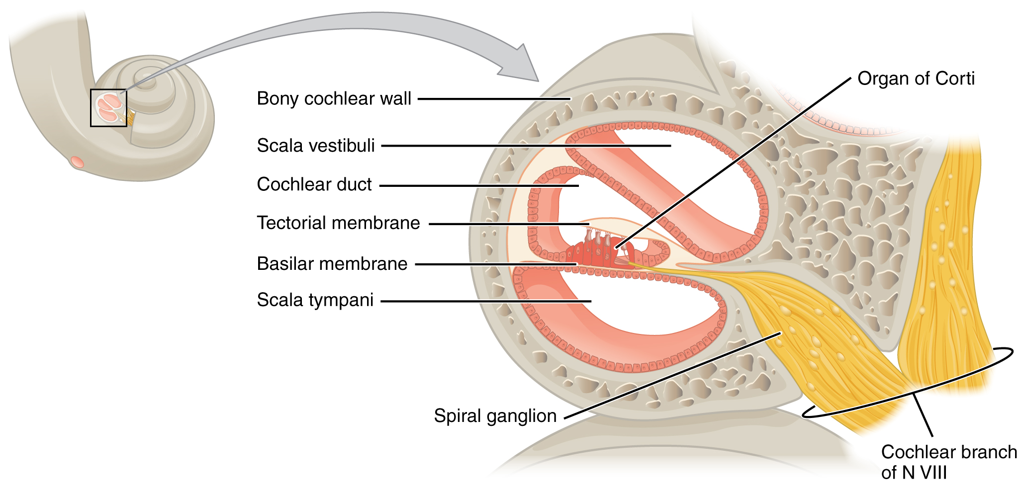 this diagram shows the structure of the cochlea in the. Black Bedroom Furniture Sets. Home Design Ideas
