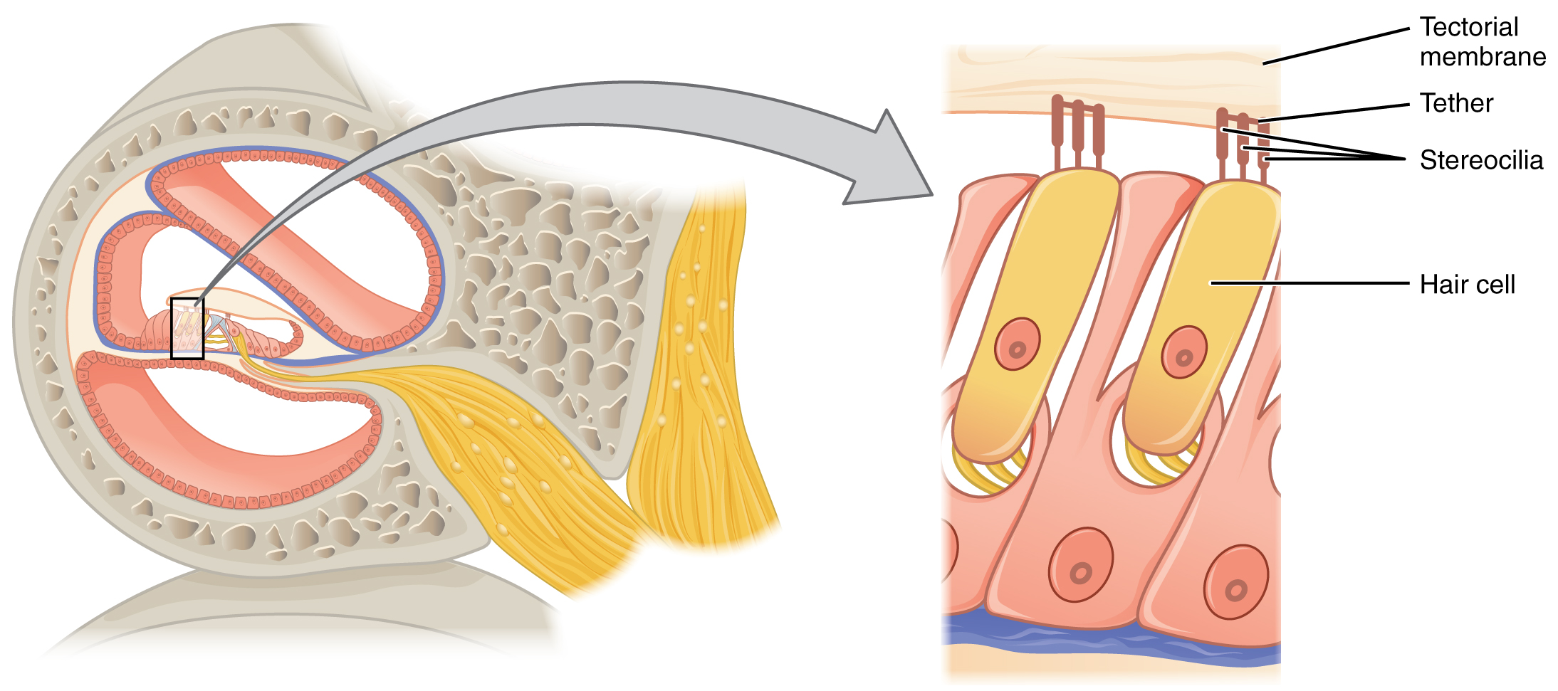 This Diagram Shows The Structure Of The Hair Cell  The