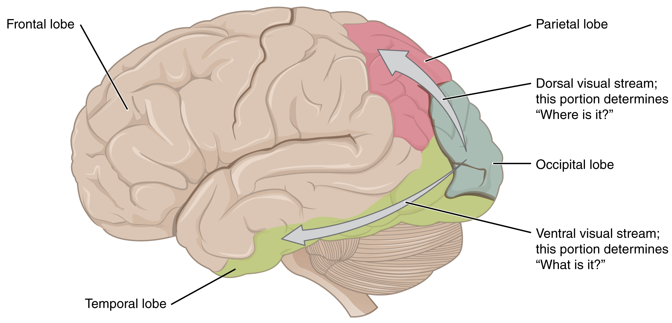 This image shows the side of the human brain and maps ...